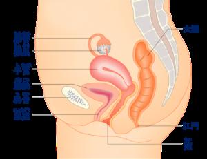 女性の内性器