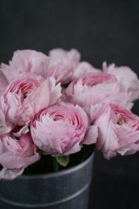 elegant pink garden roses in a pot